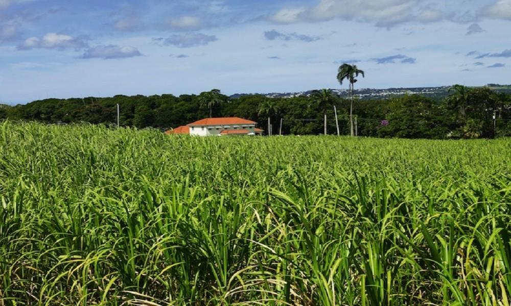 Sugar Cane and Slavery